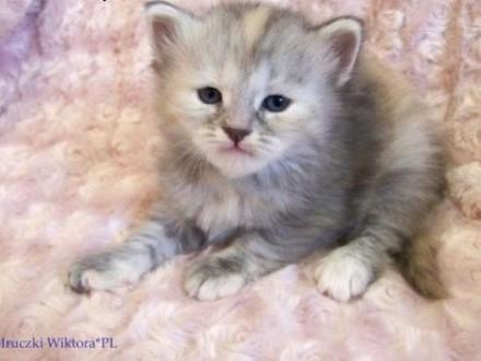 ŚLICZNA  DASZA  koteczka syberyjska z rodowodem   śląskie Częstochowa