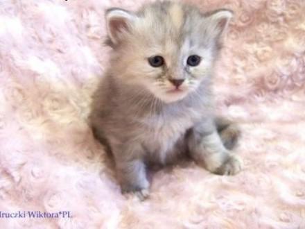 ŚLICZNA  DASZA  koteczka syberyjska z rodowodem,  śląskie Częstochowa