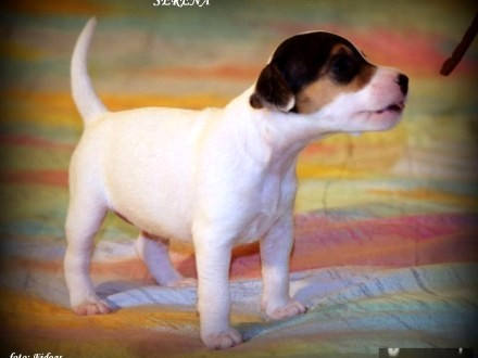 Parson Russell Terrier - dziewczynki z rodowodem FCI