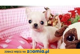 Super maciupeńka kruszynka Chihuahua