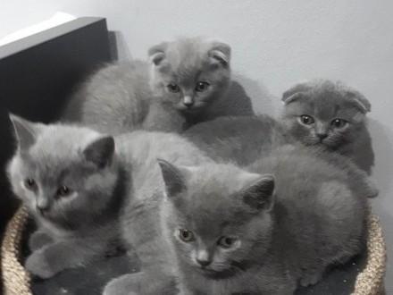 Koty brytyjskie   Warszawa