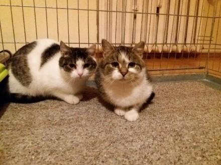 Dwie 5-miesięczne kotki szukają domu