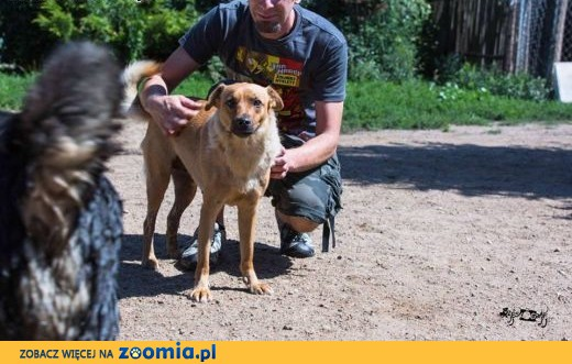 Ruda piękność - DINA szuka domu,  Kundelki cała Polska