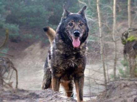 Lester - piękny wilk do pokochania   Kundelki cała Polska
