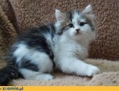Kocięta syberyjskie wspaniały.