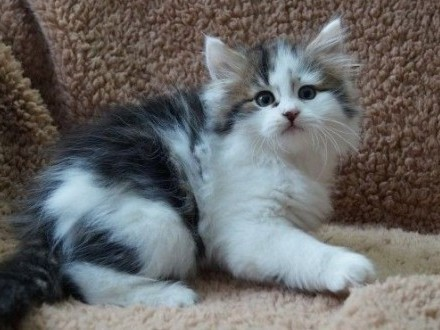 Kocięta syberyjskie wspaniały