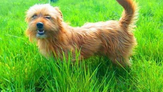 LUCJUSZ - świetny  8 kg mały szorstki psiak do adopcji   mazowieckie Warszawa