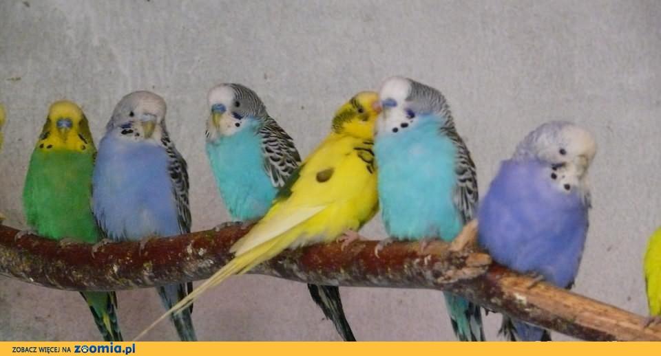Papugi Faliste Dorosłe+ budki lęgowe