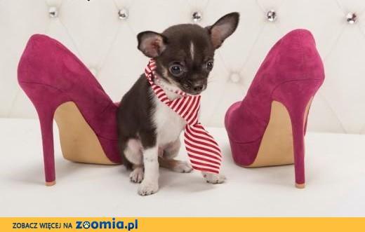 Chihuahua o imieniu Koko,  rodowód ZKwP/FCI, maleńki szczeniaczek,  łódzkie Łódź