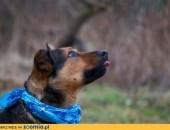 ARGO większy, młody, sympatyczny, karny pies szuka domu