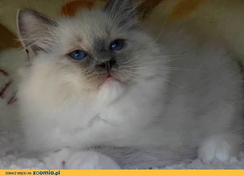 Piękna kotka w typie WYTAWOWYM mocna broda piekny kolor oka              Rodowód