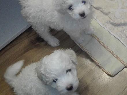 dwa białe szczeniaki, pieski. Pudel miniaturka, Wrocław Krzyki