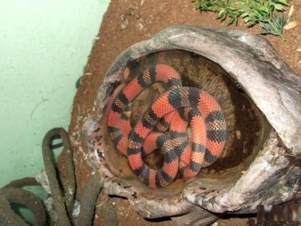 Wąż lancetogłów
