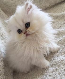 Wyjątkowej jakości Perski kocięta!