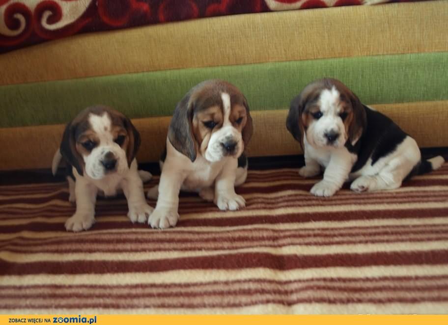 Psy, beagle, tricolor