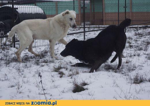 Biały, fantastyczny pies szuka domu