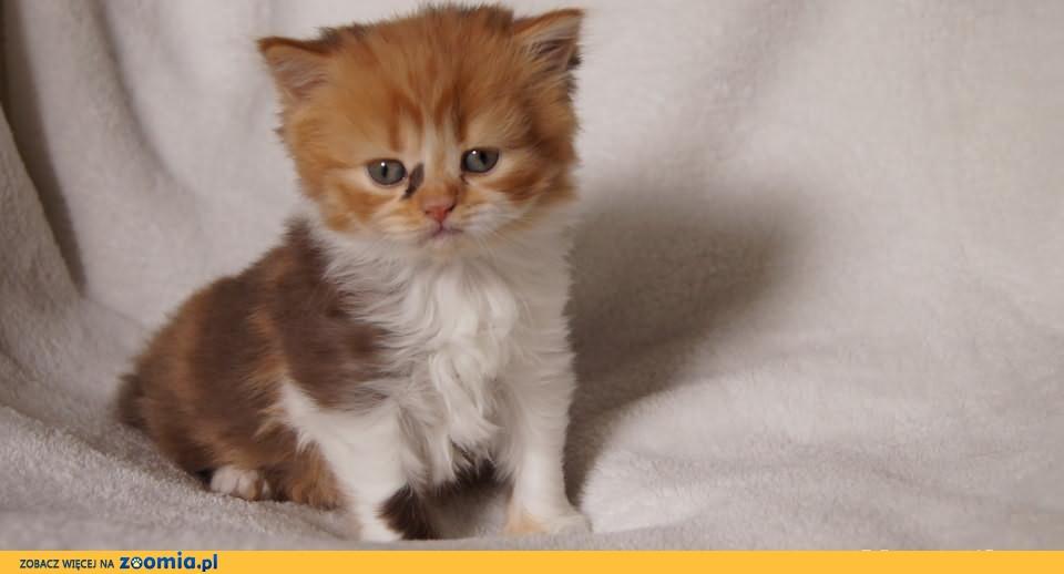 Koteczka Brytyjska krótkowłosa