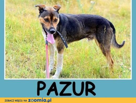Duży, do domu z ogródkiem, przyjazny,spokojny pies PAZUR.Adopcja,  małopolskie Kraków