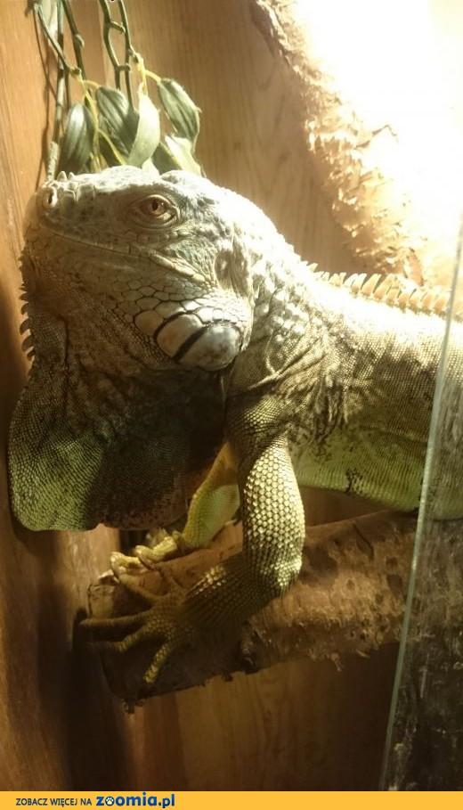 Sprzedam Legwana zielonego Iguana, gratis duże terrarium,  zachodniopomorskie Stargard Szczeciński