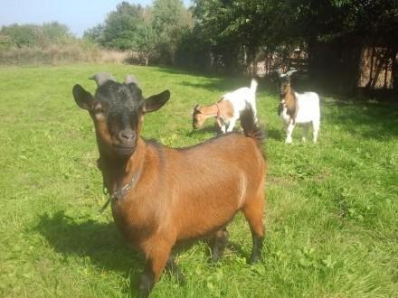 Sprzedam kozy miniaturki 2 sztuki