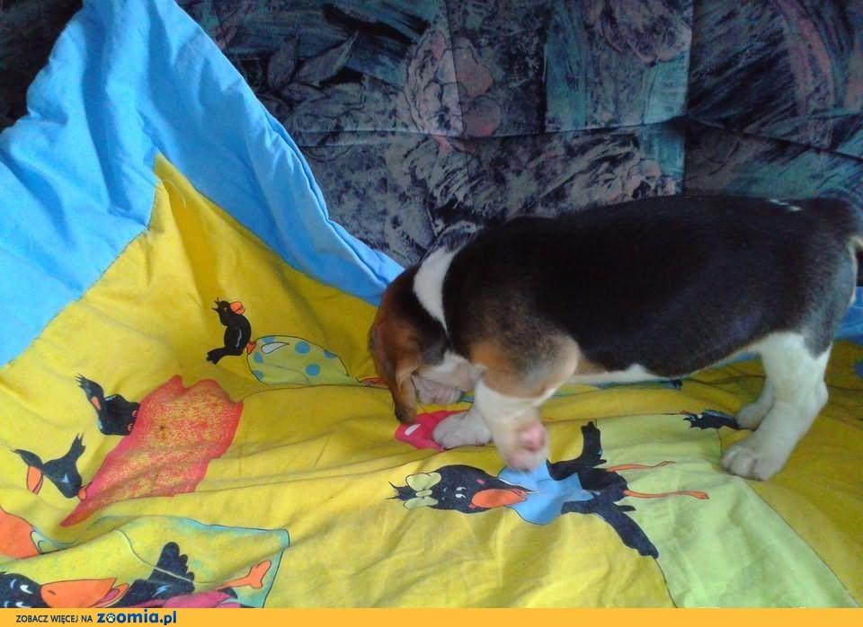 Beagle sprzedam              Rodowód