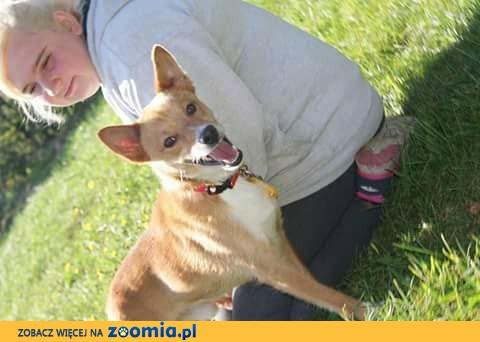 Liseczek lisunio, delikatny i drobny psiak szuka domu!