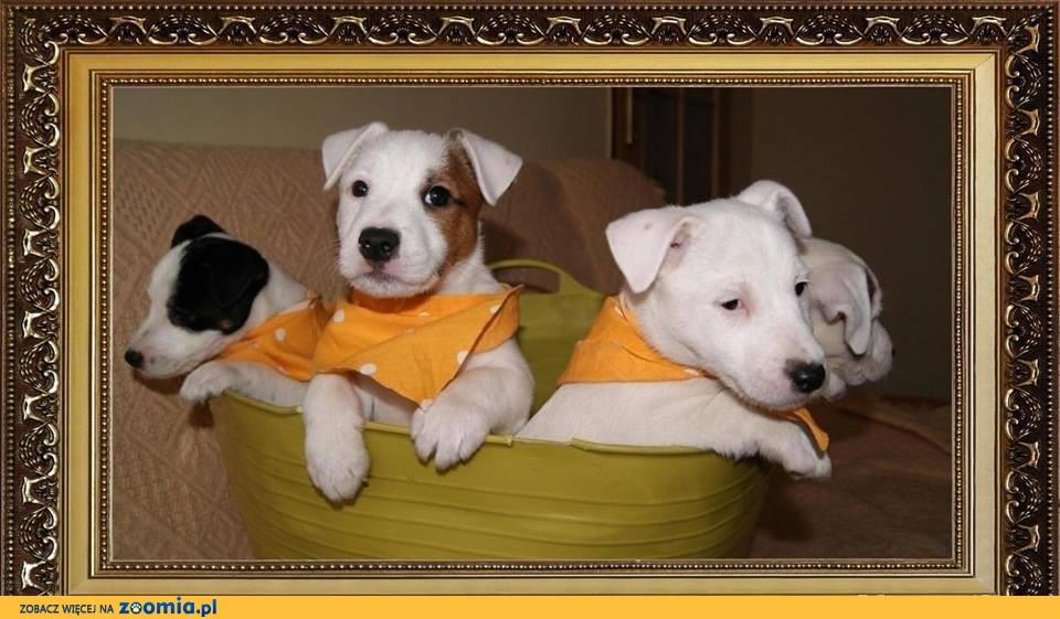 WITAM mam do zaoferowania szczeniaki Jack Russell Terrier