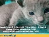 Rosyjskie Niebieskie kocięta z rodowodem,  podlaskie Augustów