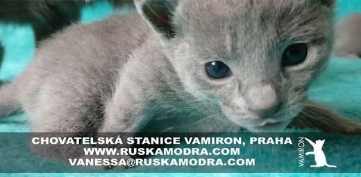 Rosyjskie Niebieskie kocięta z rodowodem   podlaskie Augustów