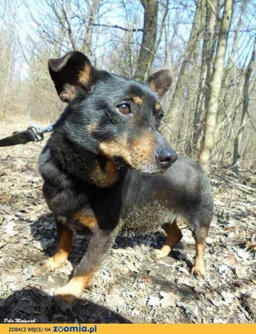 pies-Fenek,  śląskie Częstochowa