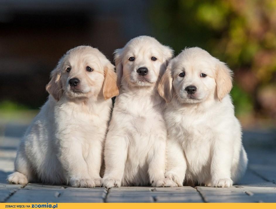 Oddam 3 szczeniaki golden retriever
