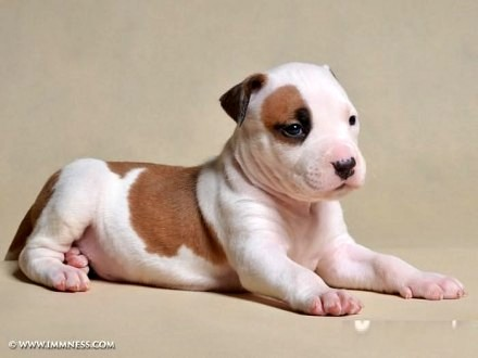 American Staffordshire Terrier - piesek - RODOWÓD ZKwP / FCI