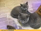 Affectionate brytyjski krótkowłosy kocięta