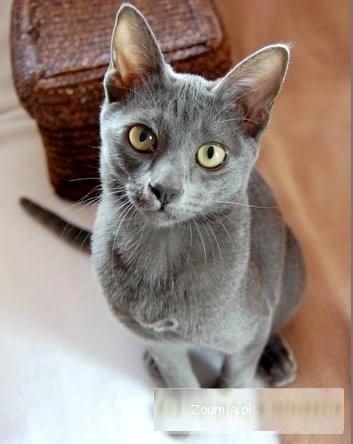 Hodowla Kotów Rasy Korat Korat Koty Archiwum Zoomia Pl