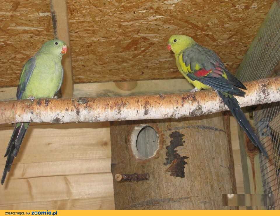 Papugi górskie-bergi