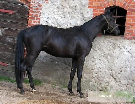 Pilnie sprzedam konie - poch. trakeńskie - przystępne ceny