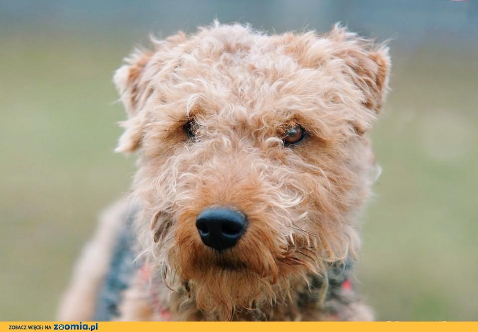 OTOZ Animals - EKO - terier walijski - super psiak czeka na dom!
