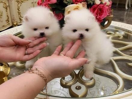 Pomeranian boo  szpic miniaturowy śliczne niedźwiadki