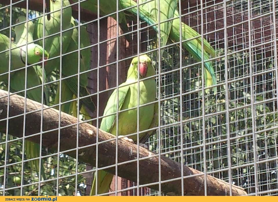 Aleksandretty obrożne zielone (alleksandretta)