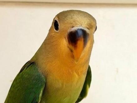 Nierozłączka czerwonoczelna nierozłączki czerwoniczelne papuga papugi młode do oswojenia