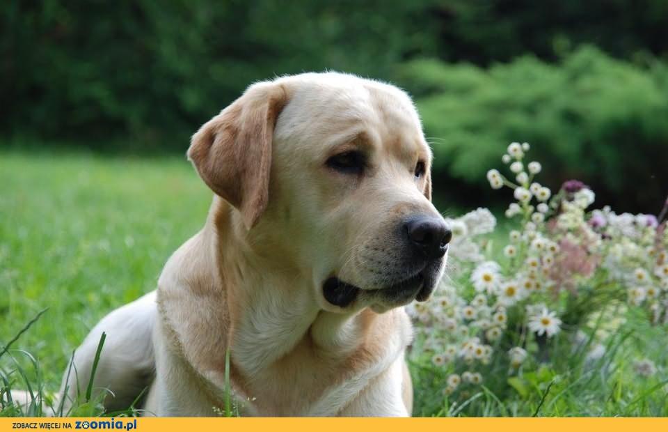Labrador Retriver - Reproduktor - Champion Polski