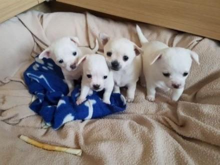 płowe i białe chłopaki i szczeniaczki Chihuahua   Chihuahua cała Polska