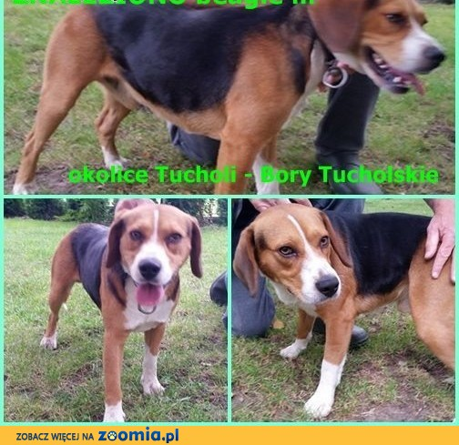UWAGA! Znaleziono psa beagle ,  kujawsko-pomorskie Tuchola
