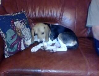 Półroczna suczka beagle do adopcji
