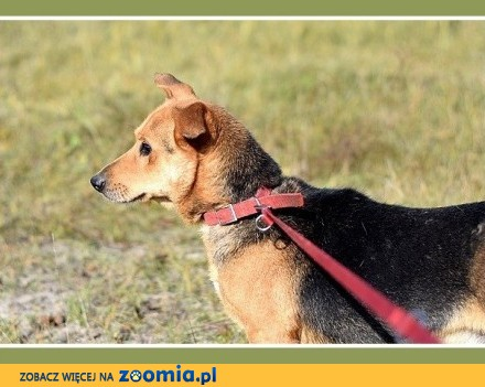 Łagodny  mały 11 kg  niskopodłogowy  grzeczny psiak LUCEK_Adopcja