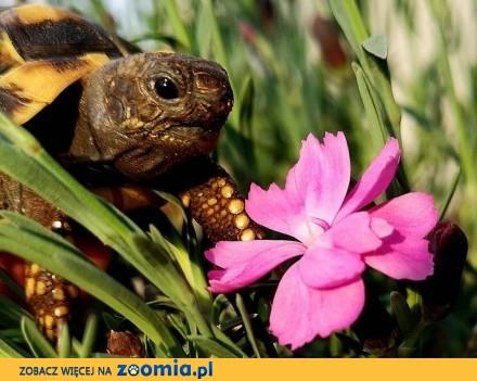 żółw lądowy grecki