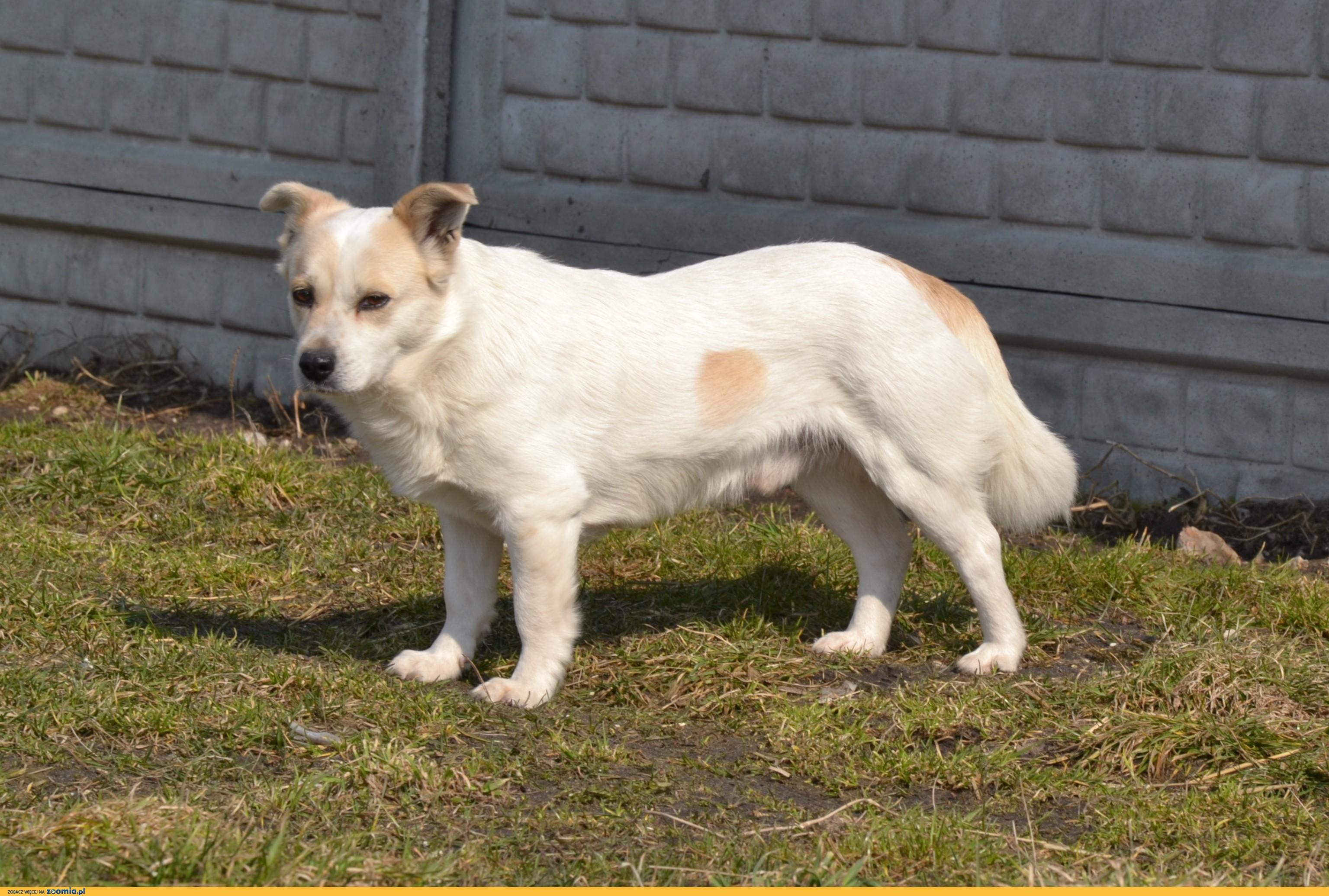Kremuś-delikatny, niepogodzony ze swoim losem psiak szuka domu