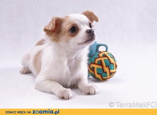 Chihuahua długowłosa biało - liliowa,  mazowieckie Grodzisk Mazowiecki