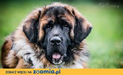NIUNIEK-kochany 45 kg LEONBERGER mix - MIŁOŚC i ODDANIE do adopcji