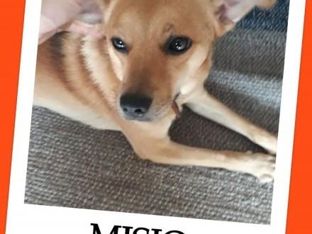Przekochany MISIO 2 letni grzeczny przyjacielski kastrowany średni psiakADOPCJA!   mazowieckie Radom